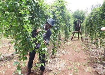 Passion Fruit Farming Kenya