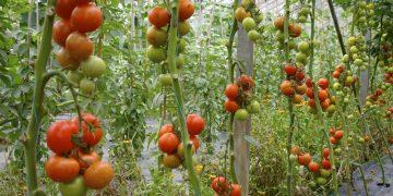 Profitable Tomato Farming in Kenya