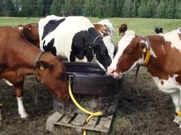 Cross bred cows