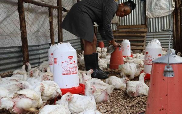 Poultry Business Kenya