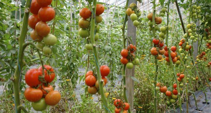 Hybrid Tomatoes in Kenya