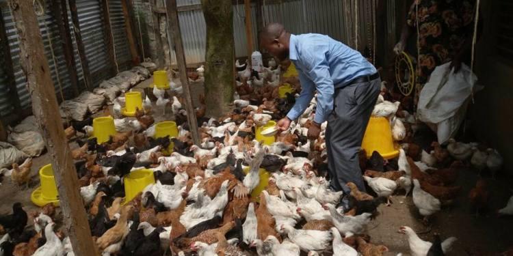 Chicken Farming Profits