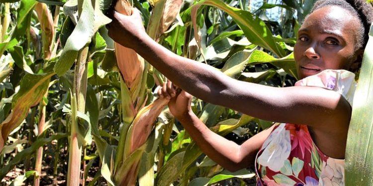 Nancy Wawira stands among ripening maize cobs of high yielding, drought-tolerant maize varieties on a demonstration farm in Embu County, Kenya - Bizna Kenya