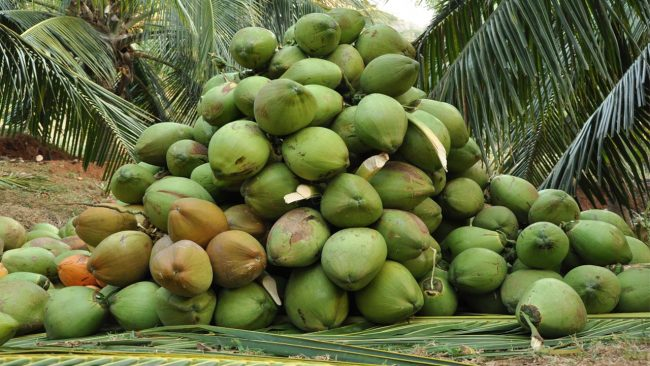 Lagos Aims To Boost Coconut Value Chain For Revenue Generation
