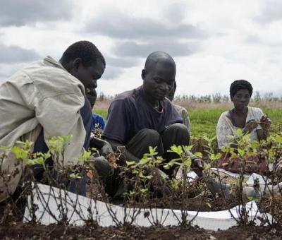 National Young Farmers Scheme: NALDA Engages 400 Young Farmers On 300-Hectare Farmland