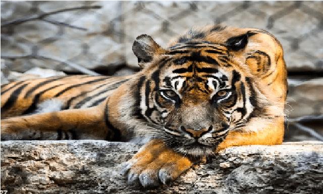 A Tiger at Bronx Zoo