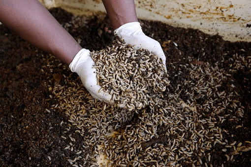 All You Need To Know About Maggot Farming