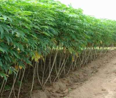 How To Plant, Grow, And Harvest Cassava
