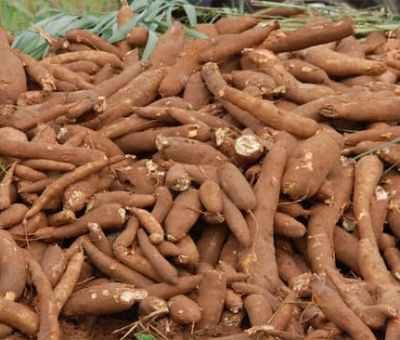 Nigeria To Improve Cassava Production Through Use Of Technology