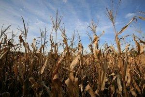 corn stalks for sale?