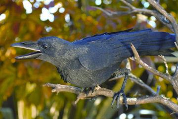 Raven-360x240