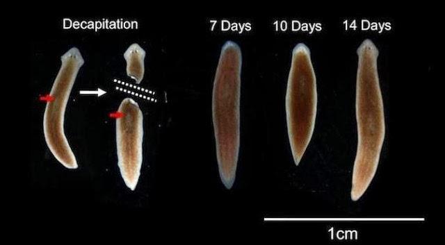 planaria-regenerating-brain-640x353