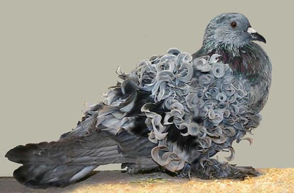 629px-frillback_pigeon