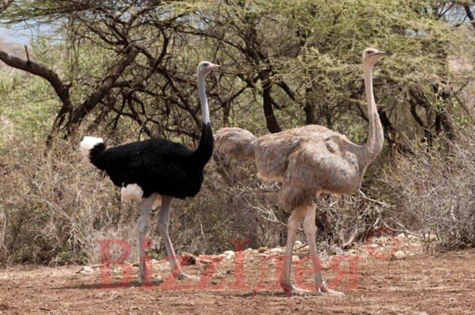 Основні породи страусів