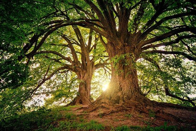 arbre ancestrale dans une forêt