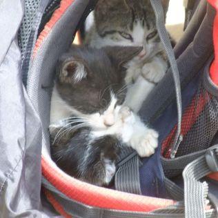 Miestne kočky vo Vladovom ruksaku.