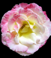 Image of a rose from Flikr