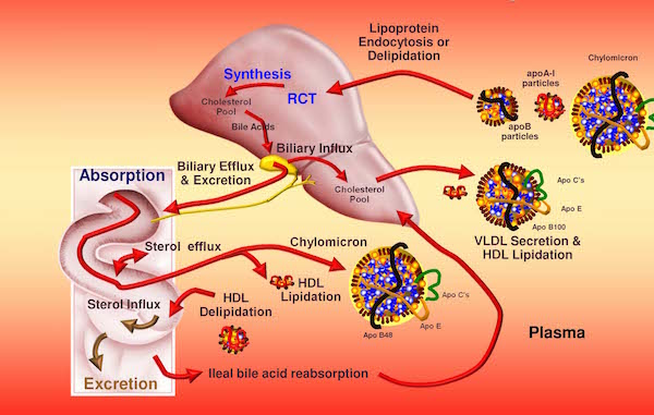 Microsoft PowerPoint - Attia Lipoprotein Trafficking.pptx [Read-Only]
