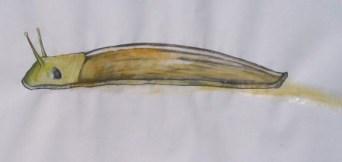 shinyslug
