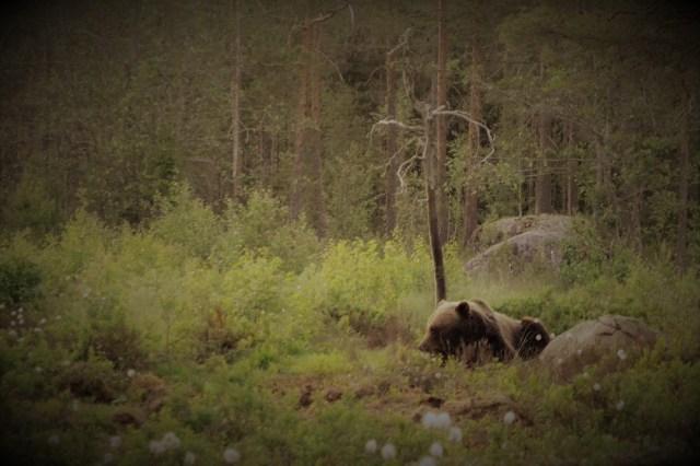 Björnen sover