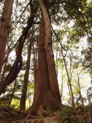 恋を成就させる不思議な木、思いやりの木