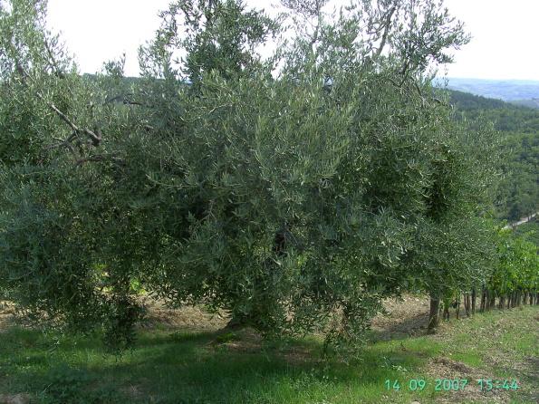 olivenbaum250.jpg