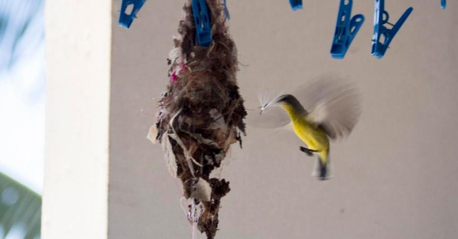 Короткохвостые нектарницы строят гнездо на балконе