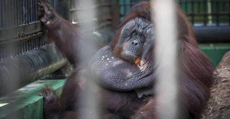 Орангутан невероятно растолстел, начав есть от скуки