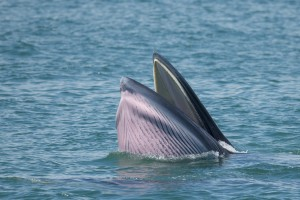 Bryde's-whale-cpt-Wild-Encounter-Thailand