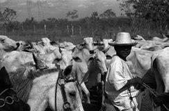 _91-Brasilien-Kühe-Junge