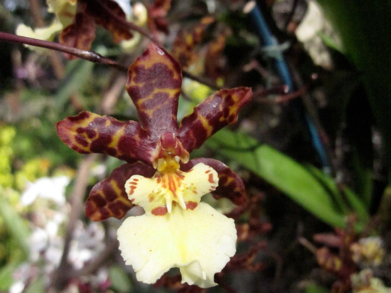 xOdontocidium Sunlight 'HOF'