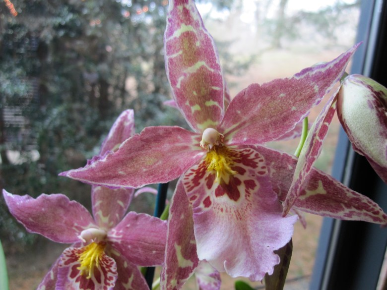 Goodaleara Pacific Truffle 'Surrogate Star'