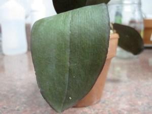 Limp phal leaf