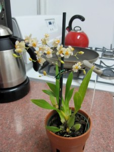Oncidium Twinkle 'Fragrance Fantasy' in bloom