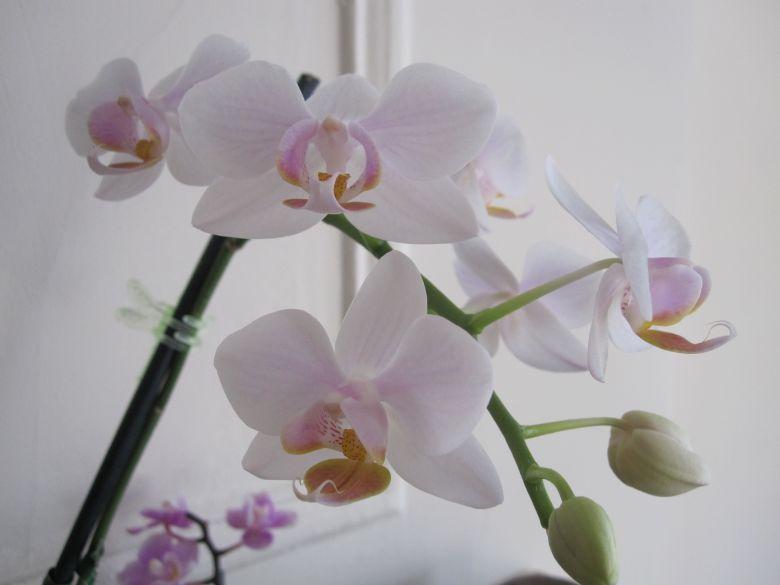 White Phal blooming