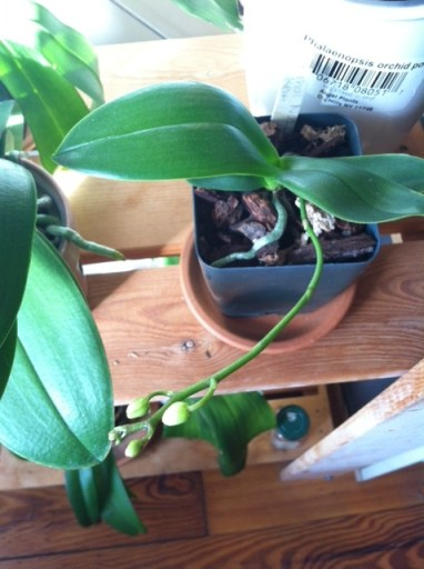 Growing buds