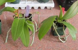 Phals with aerial roots