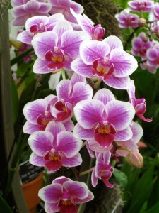 Phals at the 2011 NYBG Orchid Show