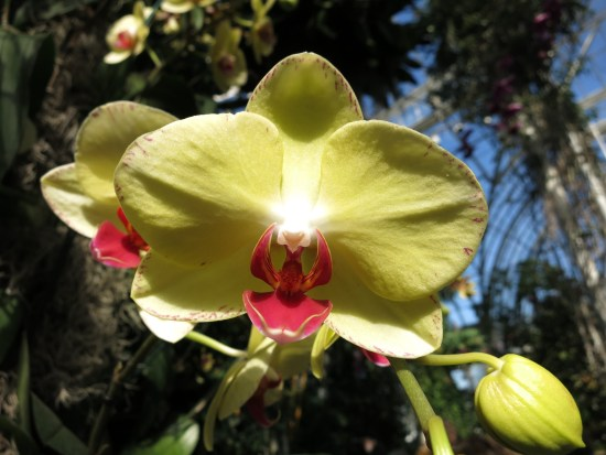 Buttery yellow Phalaenopsis