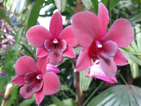 Burgundy Dendrobiums