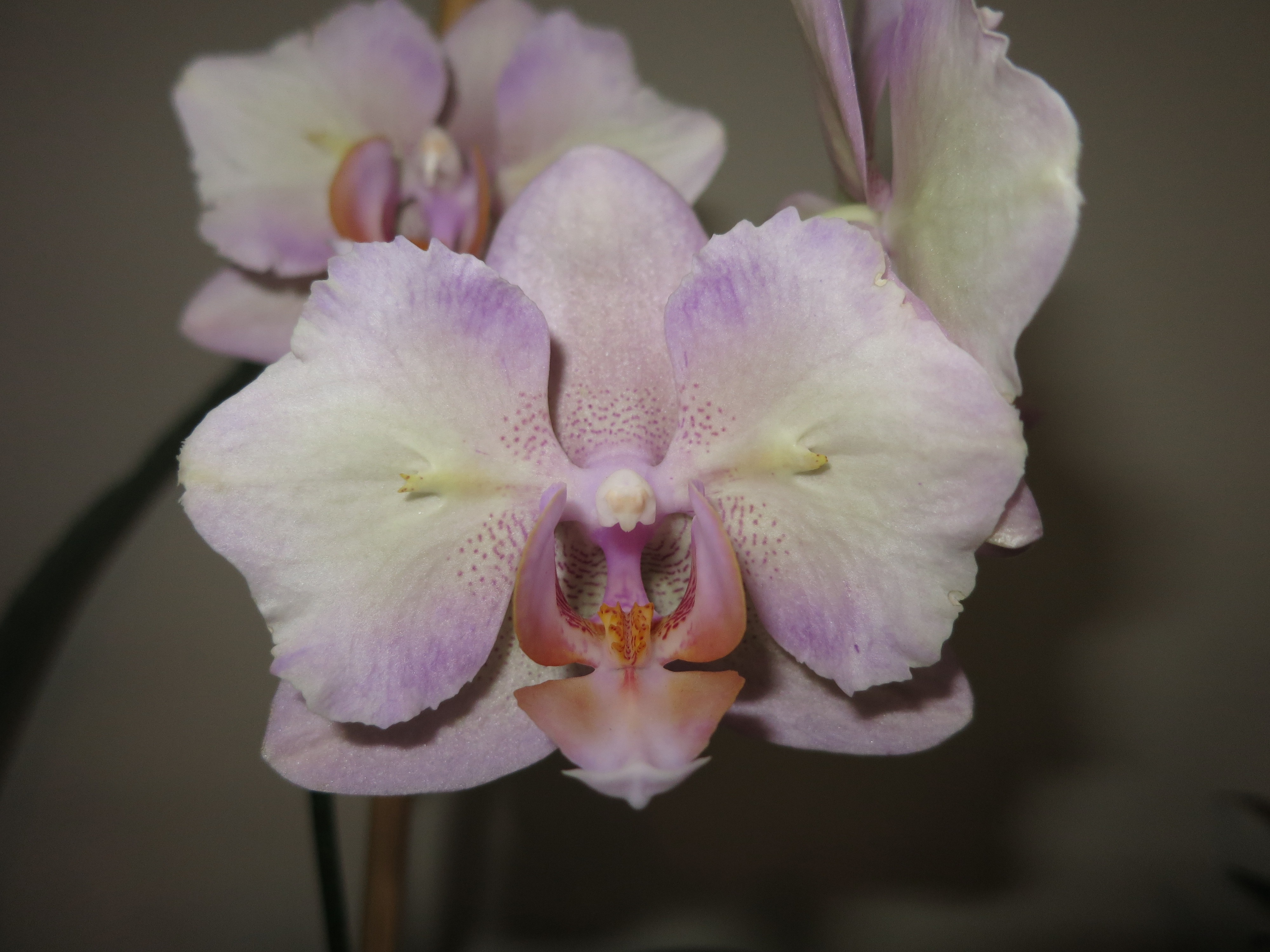 What Is a Peloric Orchid? | Brooklyn Orchids