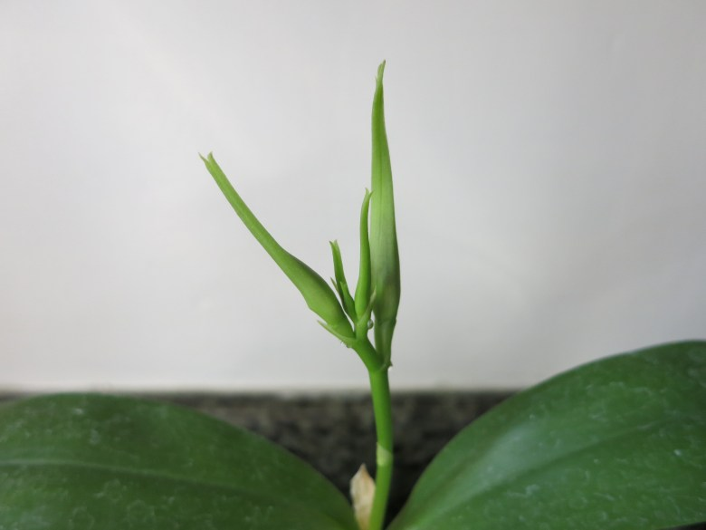 Encyclia cochleata buds