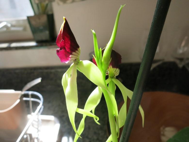 Encyclia cochleata happy sap