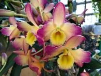 Dendrobium Oriental Smile 'Fantasy' AM/AOS