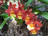 A graceful spray of red Oncidium Alliance blooms