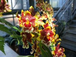 Sunlight on Oncidium orchid blooms