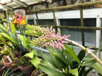 Dendrobium smillieae