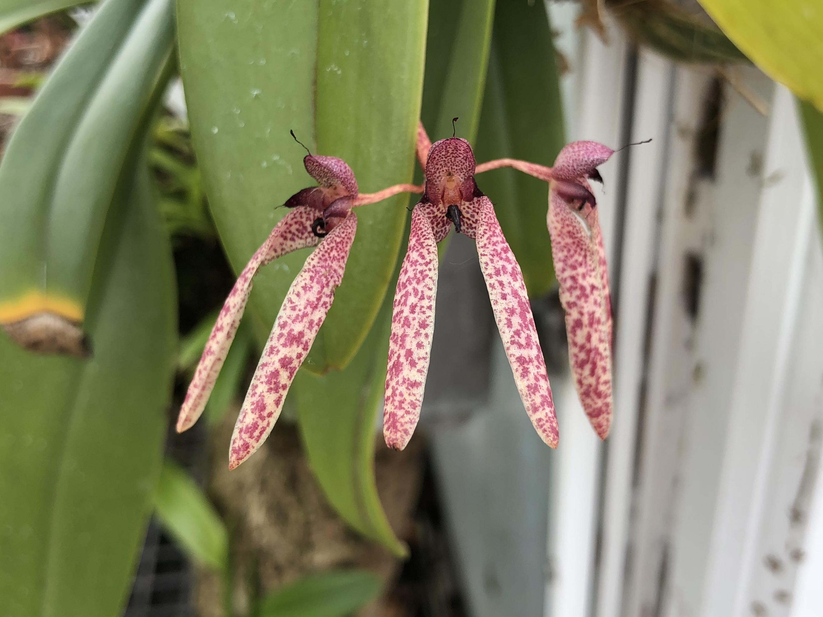 A Bulbophyllum, I believe