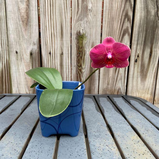 Red Phalaenopsis bloom