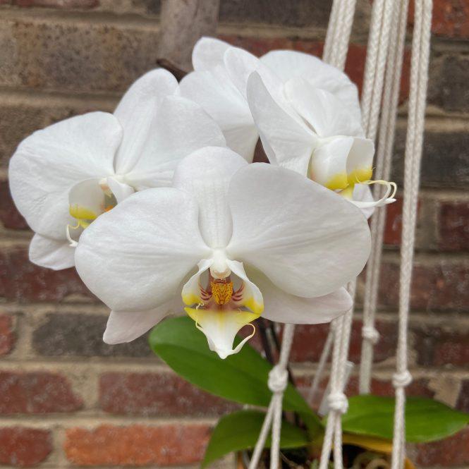 White Phalaenopsis blooms